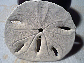 photograph about Legend of the Sand Dollar Poem Printable known as The Legend of the Sand Greenback