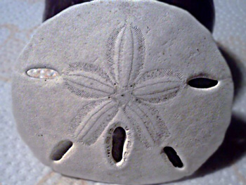 The sand dollar front above and back below