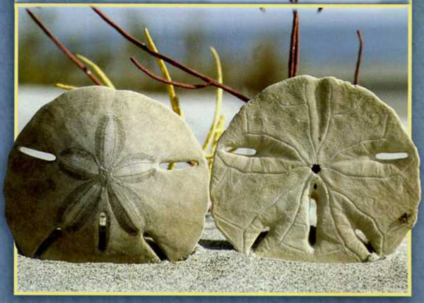 The Legend Of The Sand Dollar