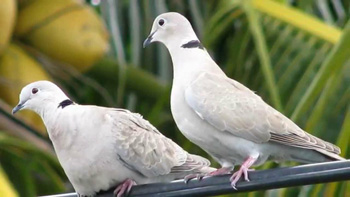 Two doves meaning