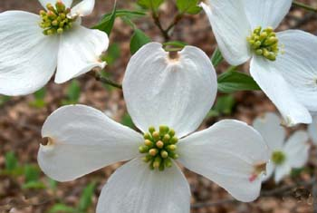 picture relating to Legend of the Dogwood Tree Printable called The Legend of the Dogwood Elaine Jordan