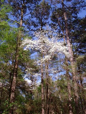 photograph relating to Legend of the Dogwood Tree Printable called The Legend of the Dogwood Elaine Jordan